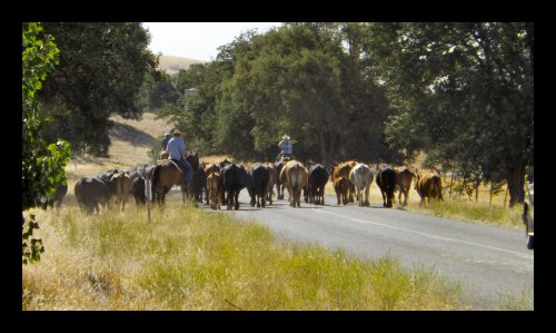 A modern day cattle drive near Parkfield
