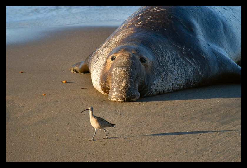 Large male elephant seal birdwatching