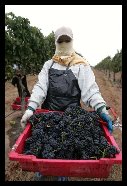 Central California wine grapes being harvested