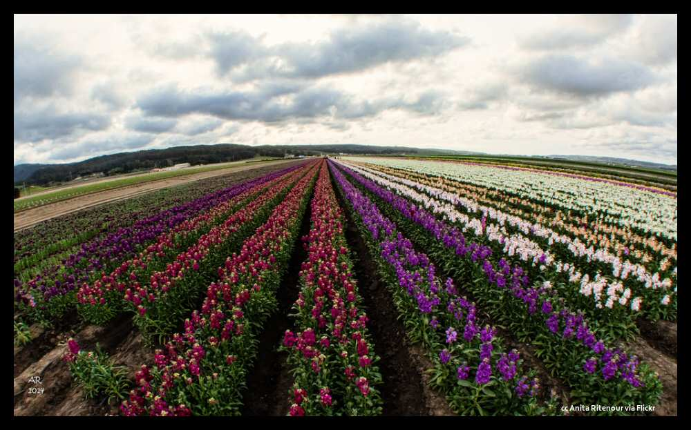 Acres of flowers blooming near Lompoc