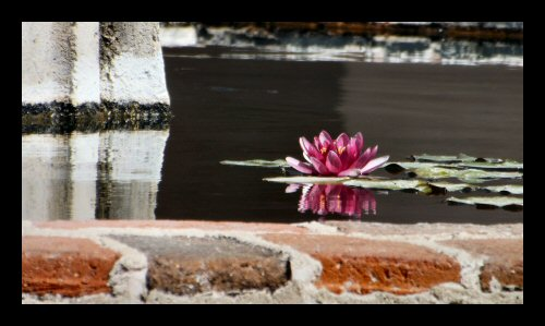 A water lily in the fountain at Mission San Miguel