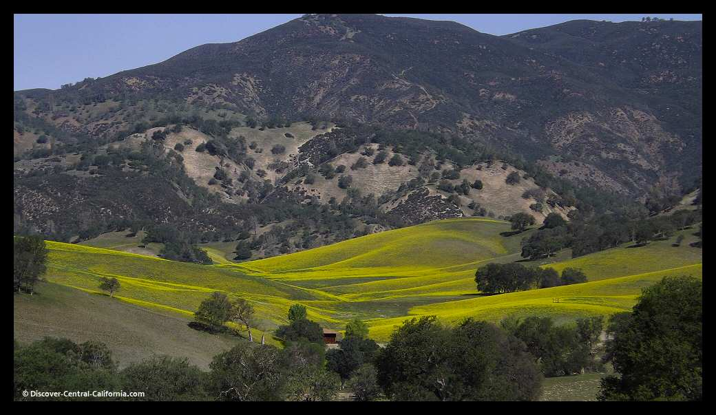 Fields of mustard cover hillsides along Parkfield Coalinga Road