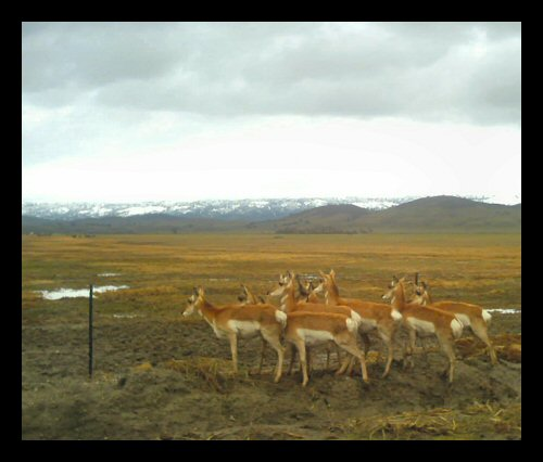 Pronghorn antelope on the Hearst Jack Ranch east of Parkfield