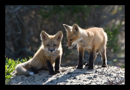 Red fox pups in Morro Bay area