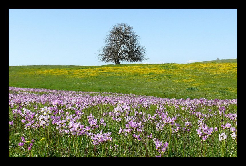 Shooting stars and mustard carpet a hillside in Central California