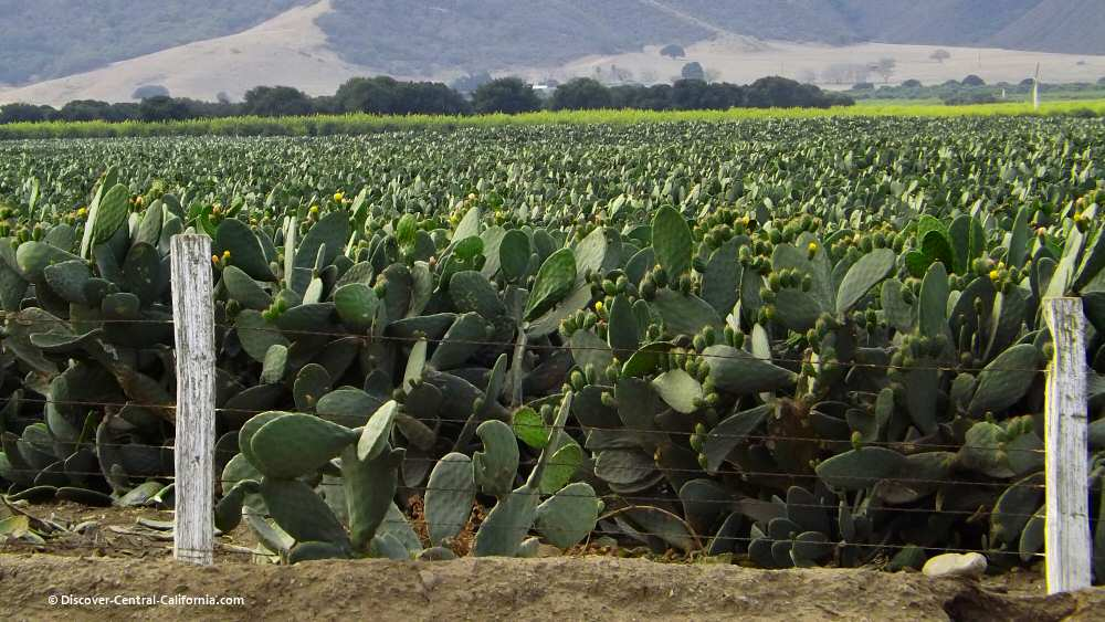 Field of cactus under cultivation