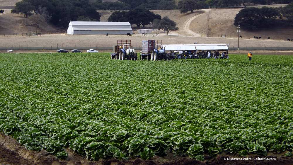 A field of romaine lettuce being harvested