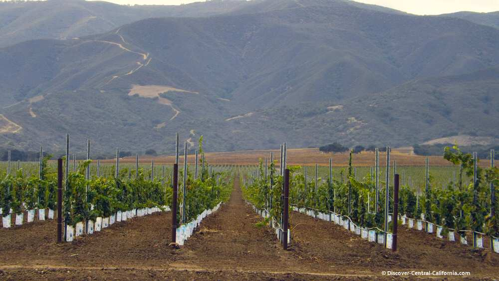 Wine grapes along River Road