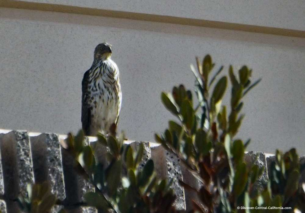 Juvenile hawk along the Salinas Riverwalk