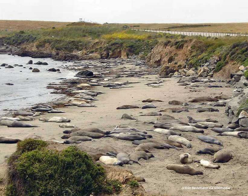 A 2005 view of the elephant seal rookery near Piedras Blancas. There is a walkway along the bluff now.