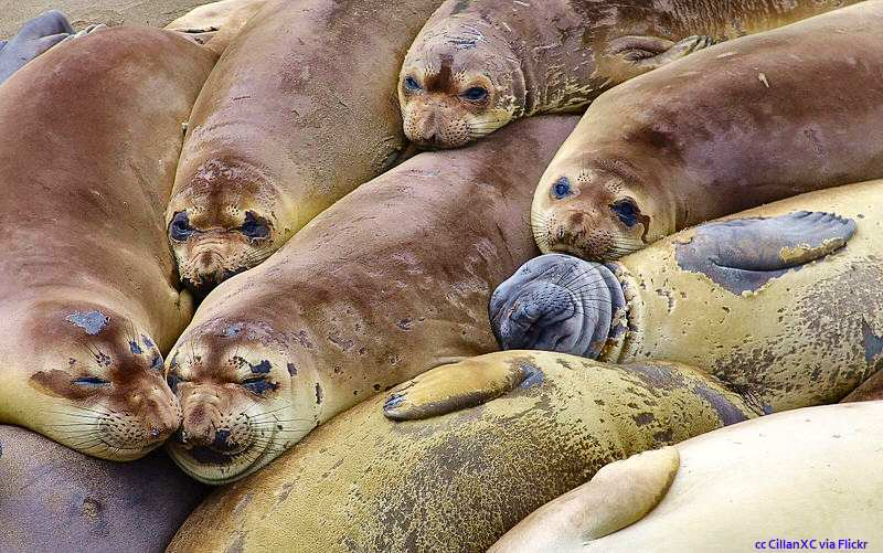 A group of molting females and juveniles enjoying a group nap at Piedras Blancas