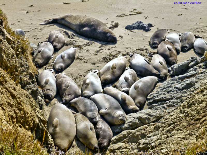 Elephant seal male with his harem at the San Simeon rookery