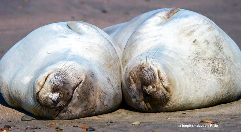 Naptime for elephant seals at the San Simeon rookery