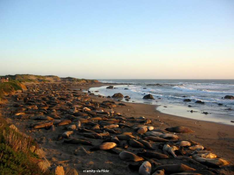 It's January, and the elephant seals are here!