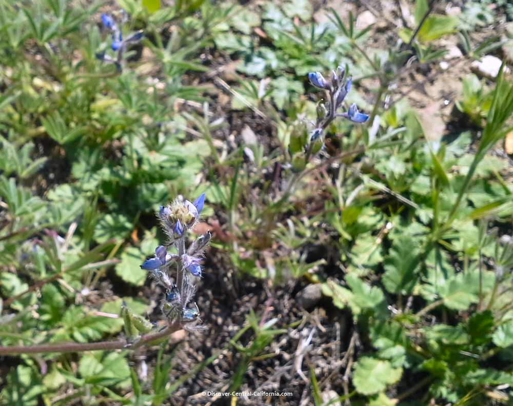 Tiny blue lupines