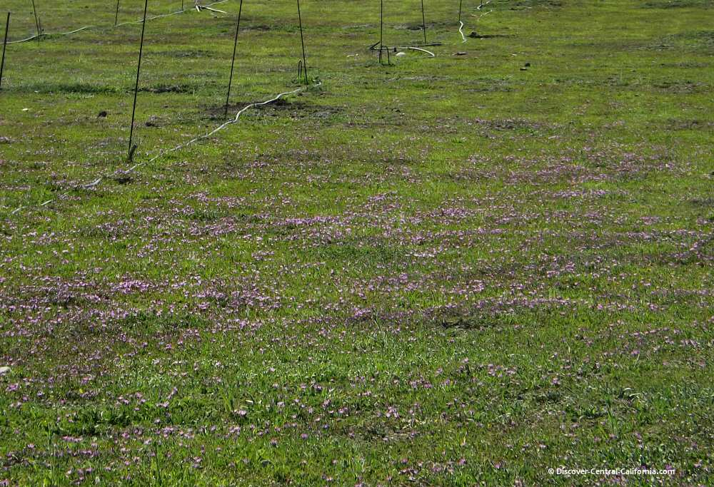 A wide view of tiny purple wildflowers