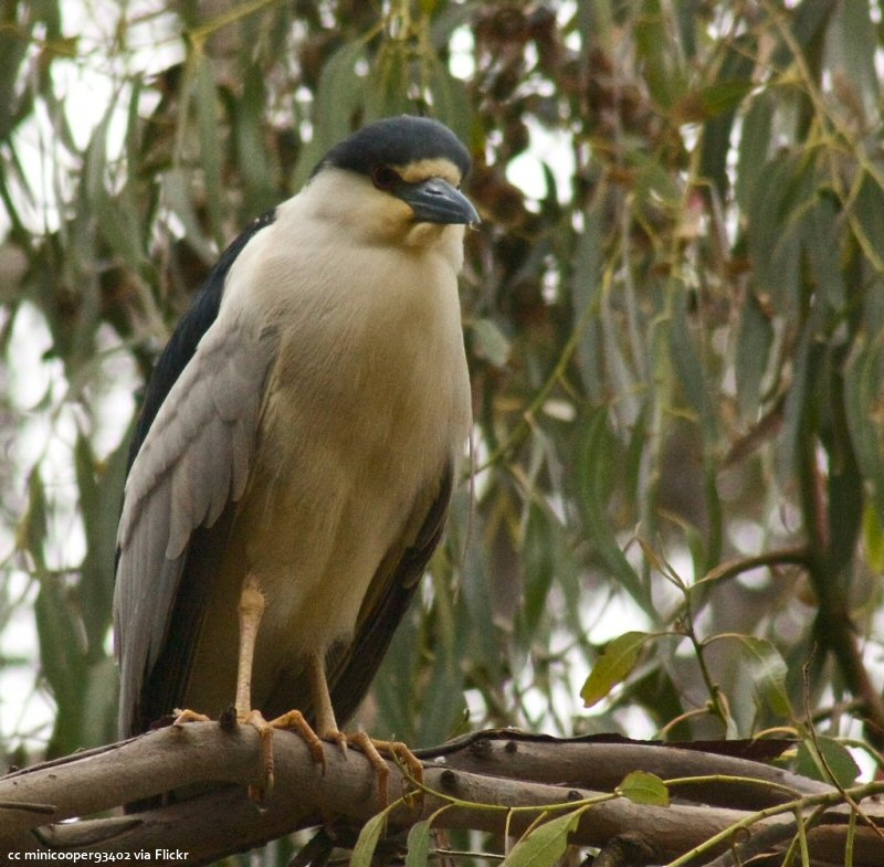 A Night-Heron at Sweet Springs in Los Osos