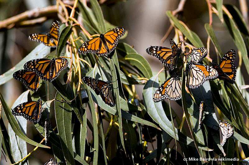 Wintering Monarch butterflies in the eucalyptus at Sweet Springs