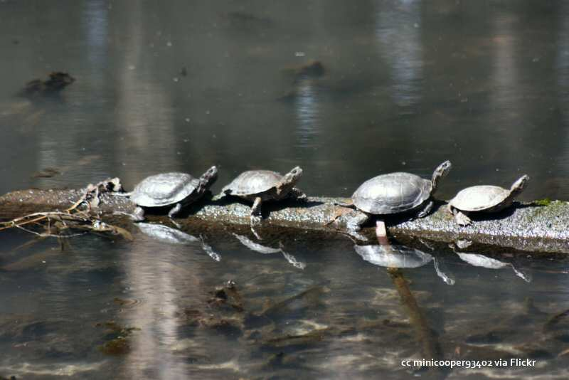 Sweet Springs turtles lined up