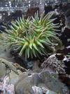 Another anemone in a tidepool