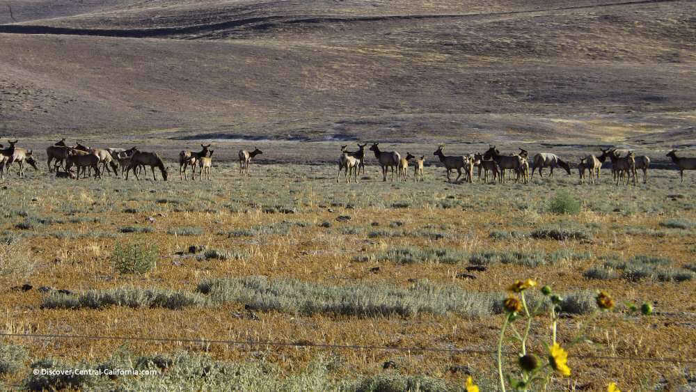Large elk herd seen on the Jack Ranch