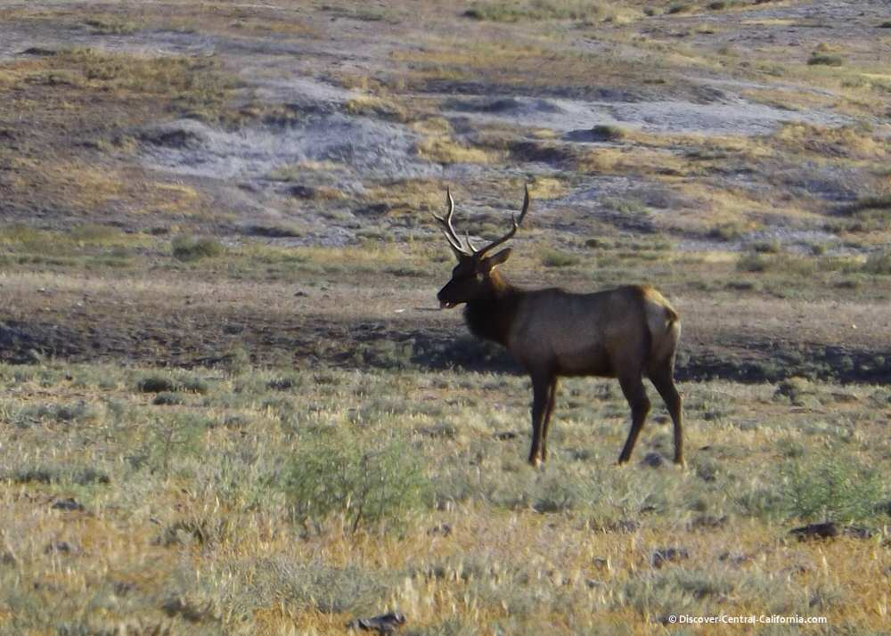 Elk bull on the Hearst Corp. Jack Ranch