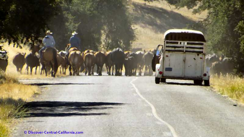 A real cattle drive; not an everyday sight but common enough on this road