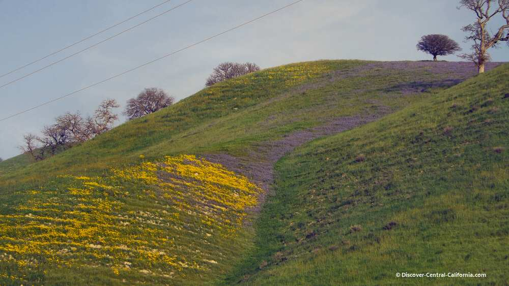 Lupines and mustard flow down a hillside