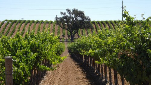 Neatly tended vineyard rows in Paso Roble