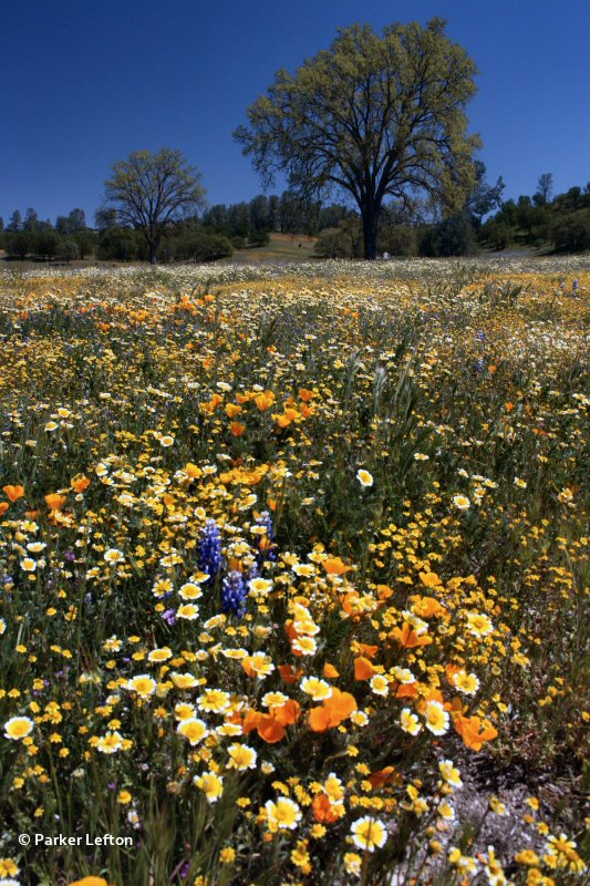 A spectacular display of California wildflowers at Shell Creek in San Luis Obispo County