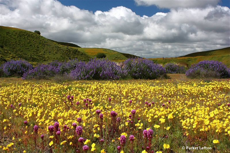 Bush lupines, goldfields and owl clover at Shell Creek Road by Parker Lefton