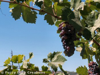 central california wine grapes on the vine