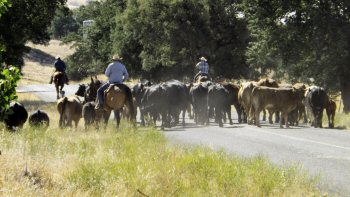 Cattle being driven down a back road
