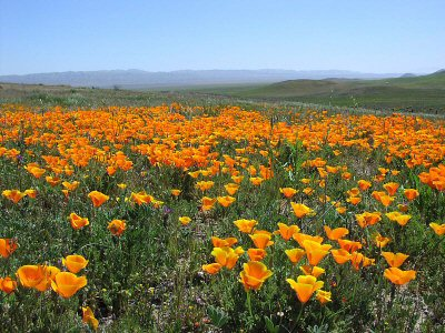 Golden poppies at the Carrizo National Monument