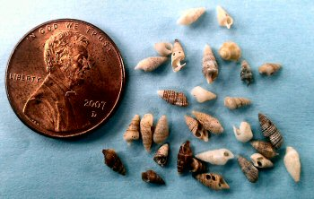 Miniature seashells or micromollusks from Central California