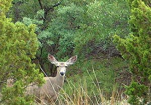 A mule deer lurking in the brush waiting for you to drive by