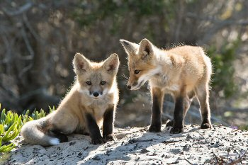 Red fox pups in Morro Bay