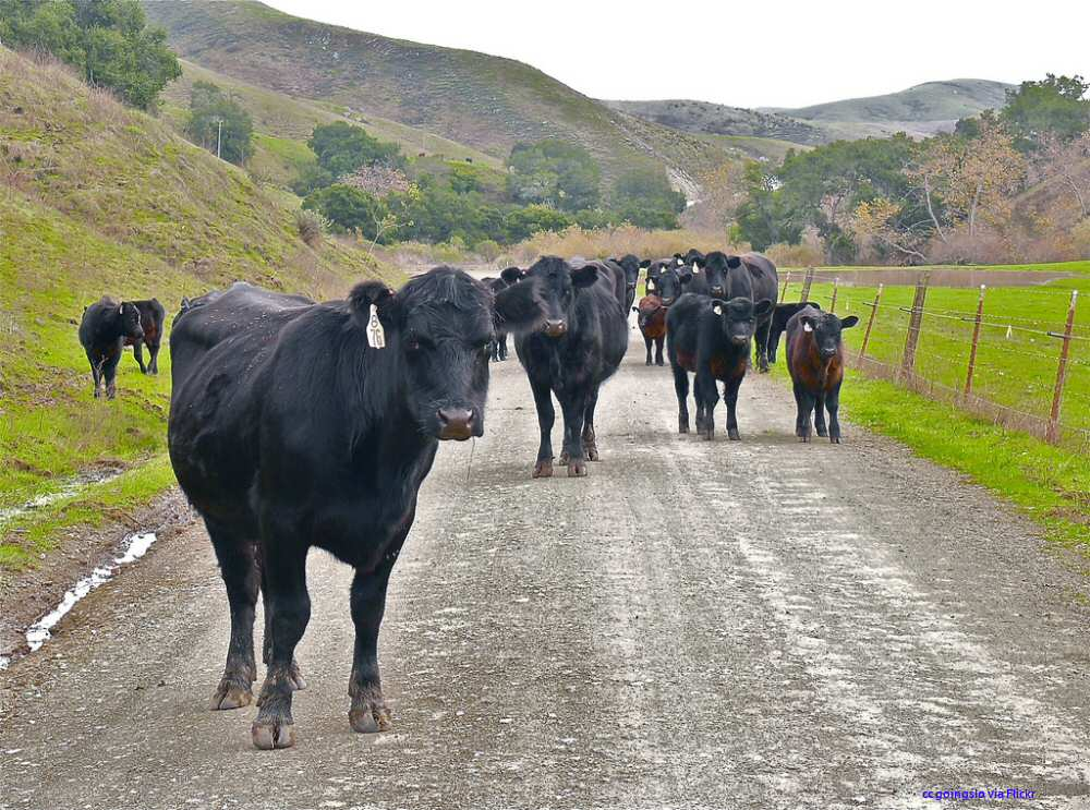 cattle jam in Cayucos