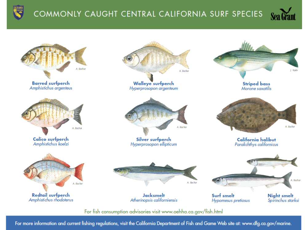 Chart of commonly caught surf fish species Central California