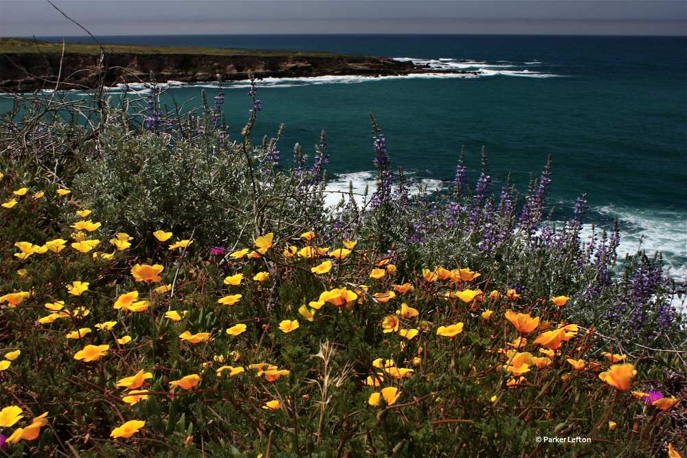Poppies on the bluff at Montana de Oro