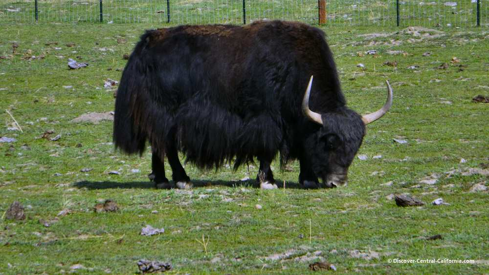 Yak on Indian Valley Road