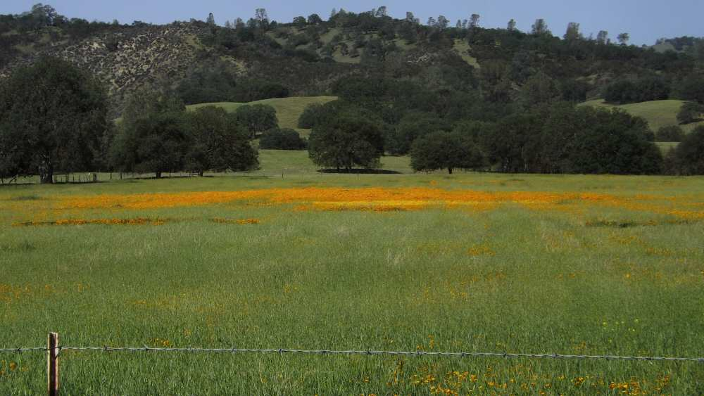 Golden poppies on the Jack Ranch - Monterey County