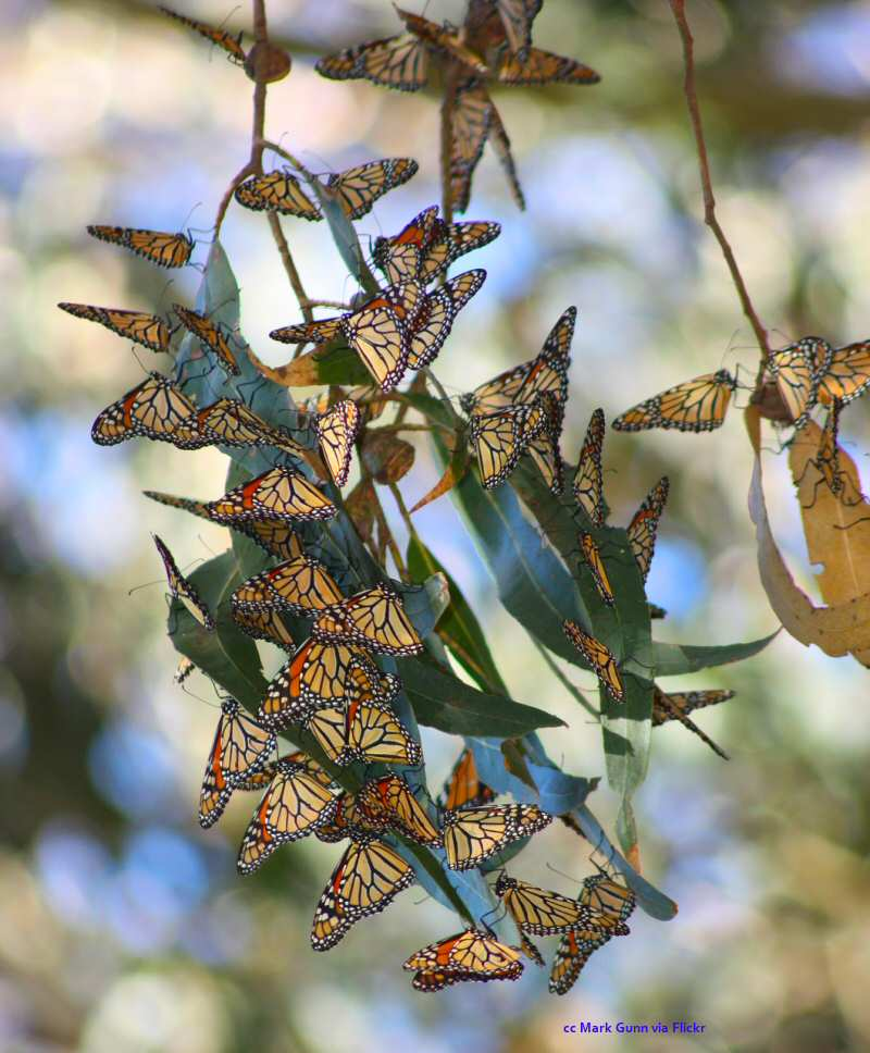 A cluster of monarchs