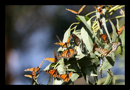 A nice group of monarch butterflies in the Pismo Beach grove
