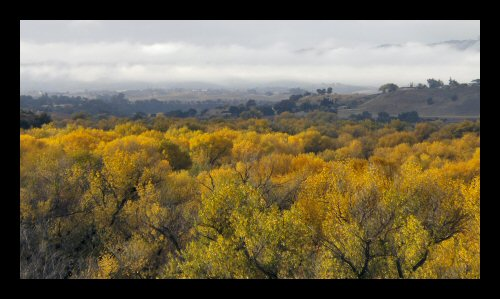 The cottonwoods in the Salinas River bottom near Paso Robles display their fall color