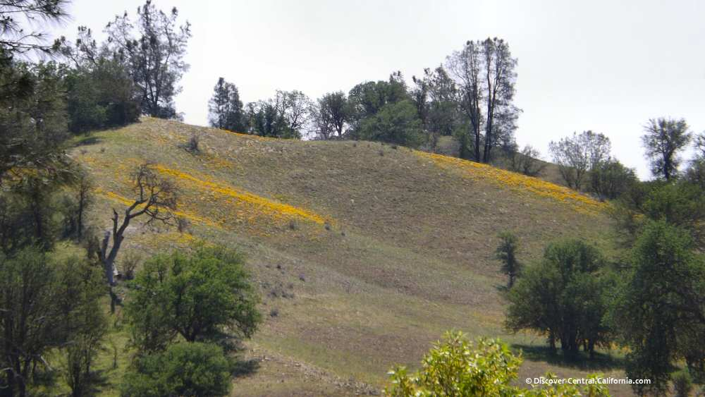 Poppies flowing down a hillside
