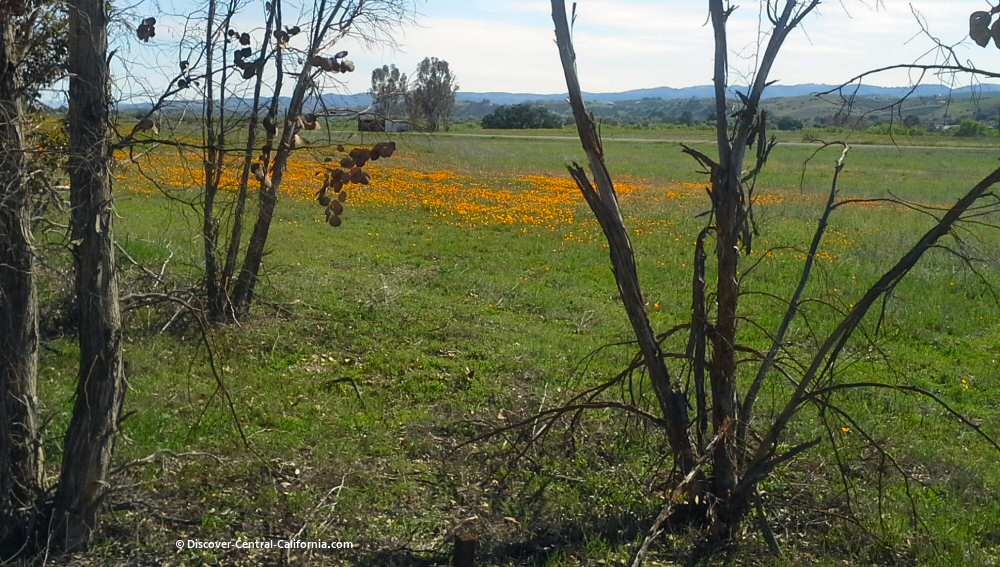 Golden poppies along Indian Valley Road near San Miguel