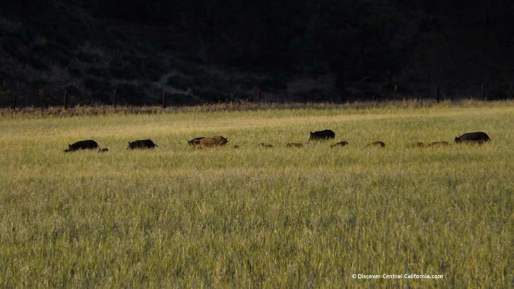 Wild pigs (and piglets with their backs just visible) grazing in a hay field along Vineyard Canyon Road