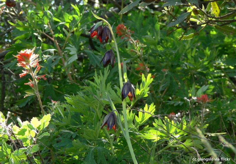 Indian paintbrush (L) and chocolate lily wildflowers